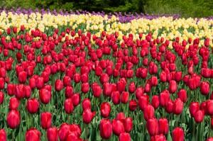 tulip_flowers_natural